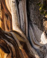 Ancient-Bristlecone-Pines-0243_v1.jpg