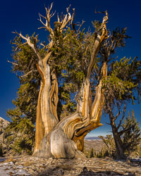 Ancient-Bristlecone-Pines-0297-Pano-Edit.jpg